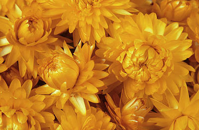 Dried Straw Flowers (helichrysum Sp.) Art Print by Ann Pickford/science Photo Library