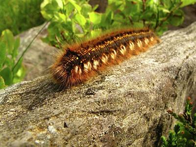 Drinker Photograph - Drinker Moth Caterpillar by Cordelia Molloy