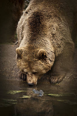 Photograph - Drinking Brown Bear by Chris Boulton