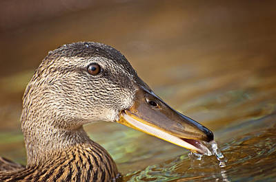 Bird Photograph - Drinking Duck by Donna Doherty