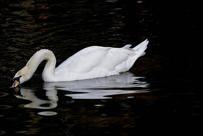 Photograph - Drinking Swan by Judy Wanamaker