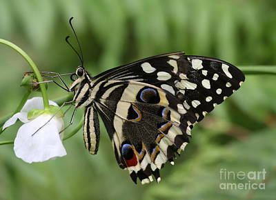 Drinks With A Giant  Swallowtail Art Print by Ruth Jolly