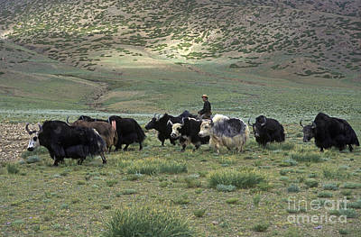 Photograph - Drokpa With Yaks - Mount Kailash Tibet by Craig Lovell