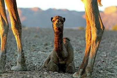 Sahara Photograph - Dromedary Camel Calf by Martin Rietze