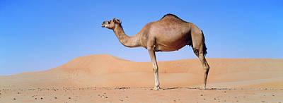 Camel Photograph - Dromedary Camel (camelus Dromedarius by Martin Zwick