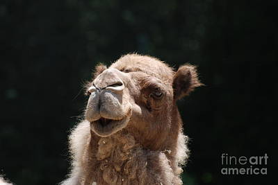 Dromedary Camel Face Art Print by DejaVu Designs