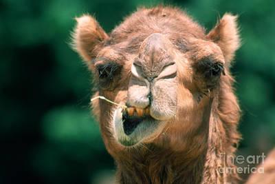 Photograph - Dromedary Camel by Mark Newman
