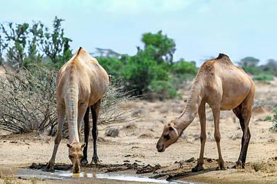 Camel Photograph - Dromedary Camels Drinking by Babak Tafreshi