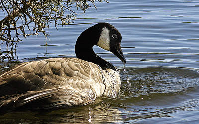 Photograph - Drooling Canada Goose by Jean Noren