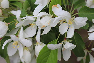 Photograph - Drooping White Blossoms by Donna Munro