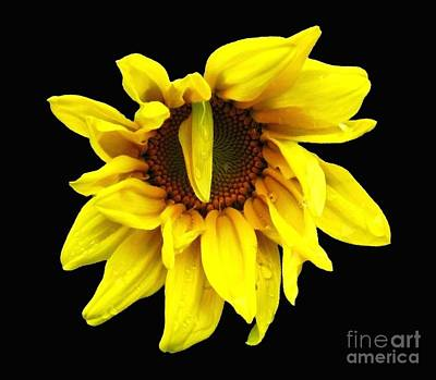 Art Print featuring the photograph Droops Sunflower With Oil Painting Effect by Rose Santuci-Sofranko