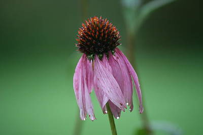 Blossoms Photograph - Droopy Echinacea by Neal Eslinger