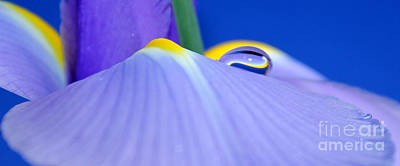 Irises Photograph - Drop Of Spring by Krissy Katsimbras