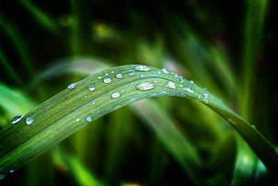 Photograph - Droplets On A Leaf by Barry O Carroll