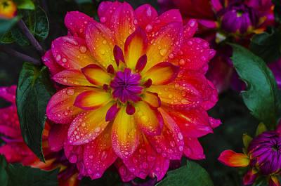 Dahlia Photograph - Droplets On Jaylenne G by Chad Sedam