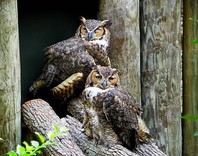 Photograph - Drowsy Owls by Judy Wanamaker