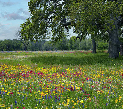 Phlox Photograph - Drummond's Phlox, Coreopsis, Texas by Tim Fitzharris