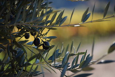 Dry Creek Valley Olives Art Print by Smiling In Sonoma
