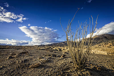 Photograph - Dry Ocotillo by Dave Hall