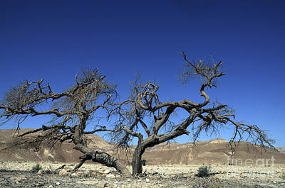 Dry Solitary Tree  Art Print