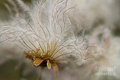 Avens Photograph - Dryas Octopetala by Heiko Koehrer-Wagner