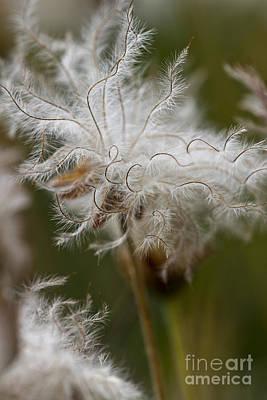 Avens Photograph - Dryas Octopetala Vertical by Heiko Koehrer-Wagner
