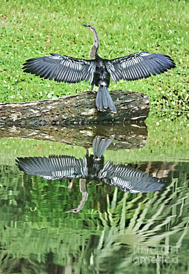 Anhinga Wall Art - Photograph - Drying In The Sun by Deborah Benoit