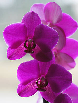 Photograph - Dsc05694 - Dark Pink Orchid by Shirley Heyn