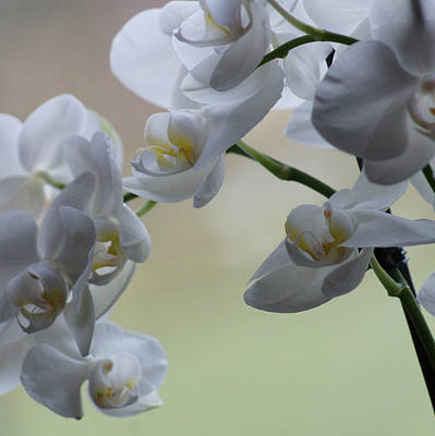 Photograph - Dsc05730 - White Orchid  by Shirley Heyn