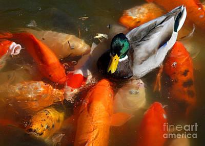 Frenzy Digital Art - Duck And Koi 2 by Glenn Morimoto