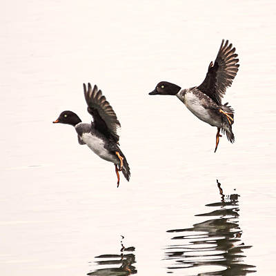 Two Ducks In Flight Photograph - Duck Ballet by Peggy Collins