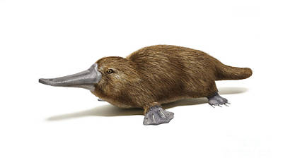Animals Digital Art - Duck-billed Platypus On White by Leonello Calvetti