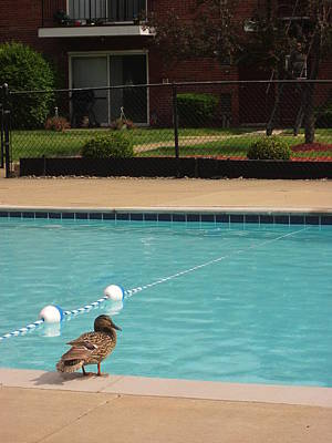 Photograph - Duck By The Pool by Guy Ricketts
