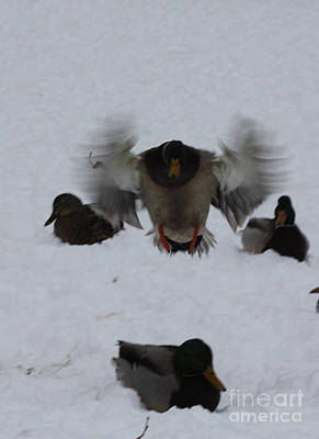 Photograph - Duck Crash Landing by John Telfer