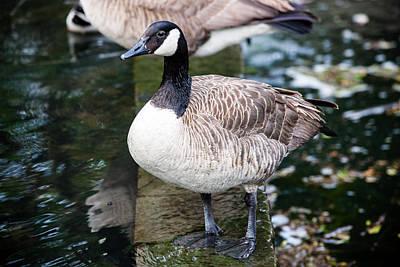 Photograph - Duck ...duck... Goose by Sennie Pierson