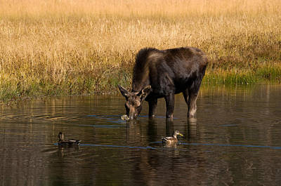 Photograph - Duck Duck Moose by Steve Stuller