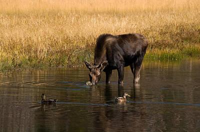 Photograph - Duck Duck Moose by Steve Stuller
