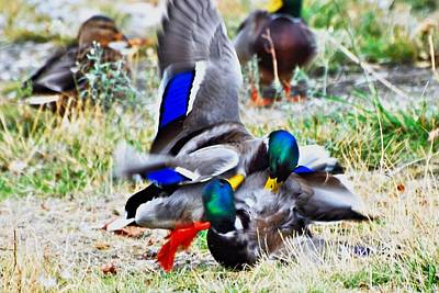 Duck Photograph - Duck Fight 1 by Don Mann