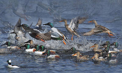 Frenzy Photograph - Duck Frenzy by Angie Vogel