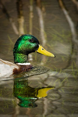 Photograph - Duck In A Lake by Celso Diniz