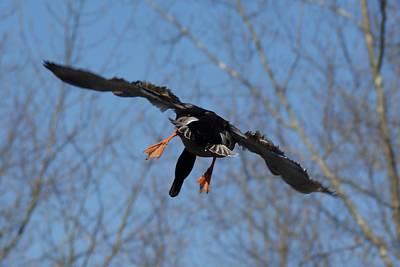 Photograph - Duck In Flight by Joe Faherty