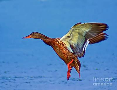 Photograph - Duck Landing by Nick Zelinsky