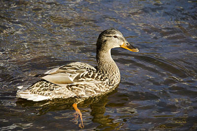 Mallard Duck Art Print by Christina Rollo