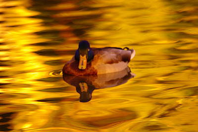 Drake Photograph - Duck On Golden Water by Jeff Swan
