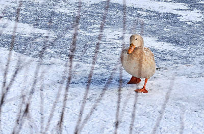 Photograph - Duck On Ice by Joanne Brown