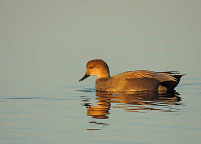 Photo Royalty Free Images - Duck reflected Royalty-Free Image by Robert Mitchell