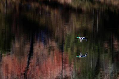 Photograph - Duck Scape 3 by Donald J Gray