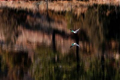 Photograph - Duck Scape by Donald J Gray