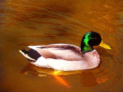Duck Swimming On Golden Pond Art Print by Amy Vangsgard