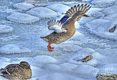 Photograph - Duck Take-off by Skye Ryan-Evans
